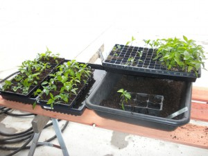 Transplanting Pepper and Eggplant
