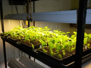Transplanted Peppers and Eggplants under lights